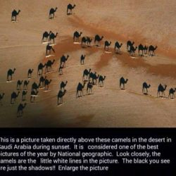 Zoek de kamelen